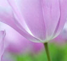 Airy Purple. Tulips of Keukenhof by JennyRainbow