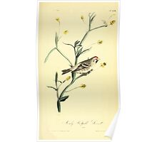 James Audubon Vector Rebuild - The Birds of America - From Drawings Made in the United States and Their Territories V 1-7 1840 - Mealy Redpoll Linnet Poster