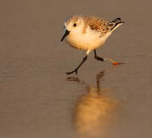 Sandpiper Running on Beach by William C. Gladish