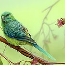 Red-rumped Parrot  by Christopher Pope