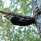 Pileated Woodpecker by Virginia N. Fred
