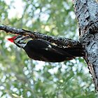 Pileated Woodpecker by Virginia N. Fred