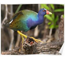 Purple Gallinule on Stage Poster