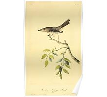 James Audubon Vector Rebuild - The Birds of America - From Drawings Made in the United States and Their Territories V 1-7 1840 - Mountain Mocking Bird Poster