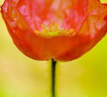 Poppy by Susan Gottberg