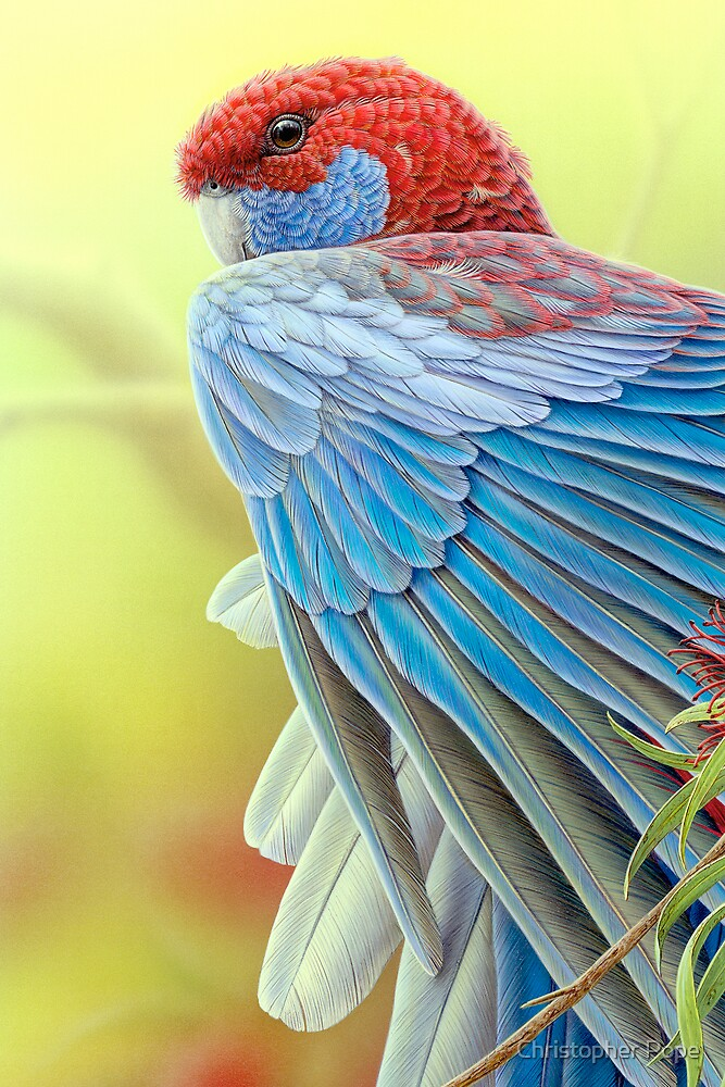 Crimson Rosella by Christopher Pope