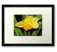 Bowing Daffodil Framed Print