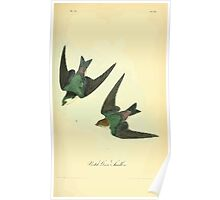James Audubon Vector Rebuild - The Birds of America - From Drawings Made in the United States and Their Territories V 1-7 1840 - Violet Green Swallow Poster
