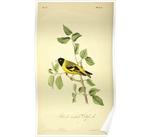 James Audubon Vector Rebuild - The Birds of America - From Drawings Made in the United States and Their Territories V 1-7 1840 - Black Headed Goldfinch Poster