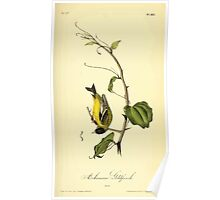 James Audubon Vector Rebuild - The Birds of America - From Drawings Made in the United States and Their Territories V 1-7 1840 - Arkansaw Goldfinch Poster