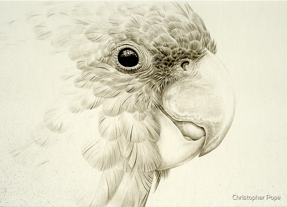 Australian Yellow-tailed Black Cockatoo study by Christopher Pope