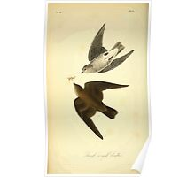 James Audubon Vector Rebuild - The Birds of America - From Drawings Made in the United States and Their Territories V 1-7 1840 - Rough Winged Swallow Poster