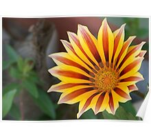 Close Up Tiger Gazania in Red, Gold and Green Poster