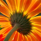 orange sunburst by sue shaw