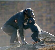 Young Chimpanzee feeding. by klphotographics
