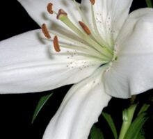 White Lily Sticker
