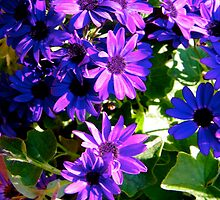 Pericallis Senetti by Larissa  White Brown