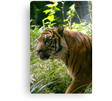 Sumatran Tiger awaits dinner Canvas Print
