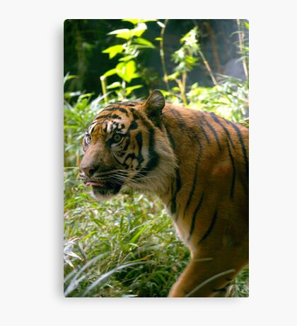 Sumatran Tiger awaits dinner Canvas Print
