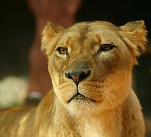 Lioness 2 by klphotographics