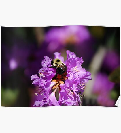 Bumble Bee On An Azalea Bush  Poster