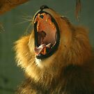Lion yawning by klphotographics