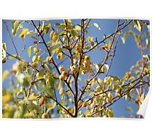 Ripe apples Poster