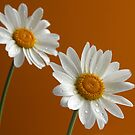 Daisies by Jeremy Owen
