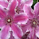 Pink Clematis by Maureen Brittain