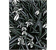 Snowdrop  woodcut Photographic Print