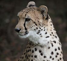 Sheeba the Cheetah-3365 by Barbara Harris