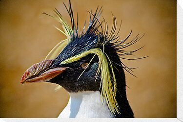 Rockhopper Penguin......... by jdmphotography