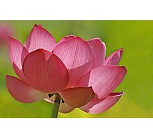 Pink Lotus W/Green Bkgd Photographic Print
