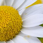 daisy close up by fruitcake