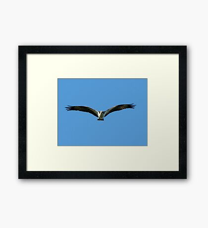 Osprey on the Hunt Framed Print