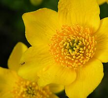 Marsh Marigold by Lindamell