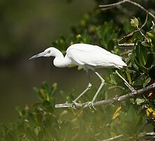 Immature Little Blue Heron by Rick & Deb Larson