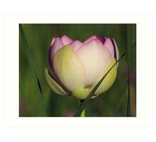 Lotus In Tall Grass Art Print
