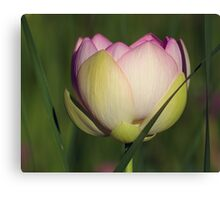 Lotus In Tall Grass Canvas Print