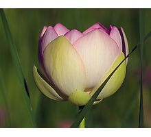 Lotus In Tall Grass Photographic Print