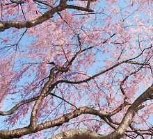 Cherry Blossom Sky by David Lamb