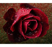 Textured Rose~ Photographic Print