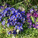 Blue and Purple Primroses by MidnightMelody