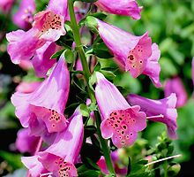 Foxglove by Kate Adams
