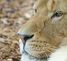 Lioness by Mark Thompson
