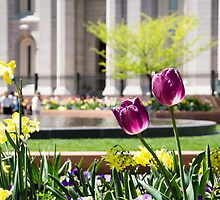 Purple Tulips in Temple Square by Brent Olson