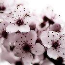 Cherry blosom by shadycat