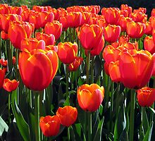 Orange Tulips by MEV Photographs