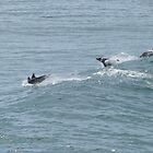 Playful Pod of Dolphins! Ballina. N.S.W. Nth. Coast. by Rita Blom