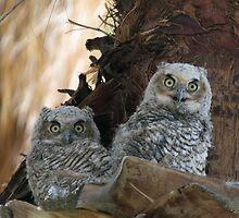 Great Horned Owl Nestlings by tomryan